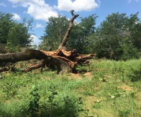 Коневец загуби най-стария от трите вековни дъба