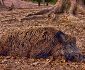 Ловци намериха още 3 глигана с африканска чума в елховско