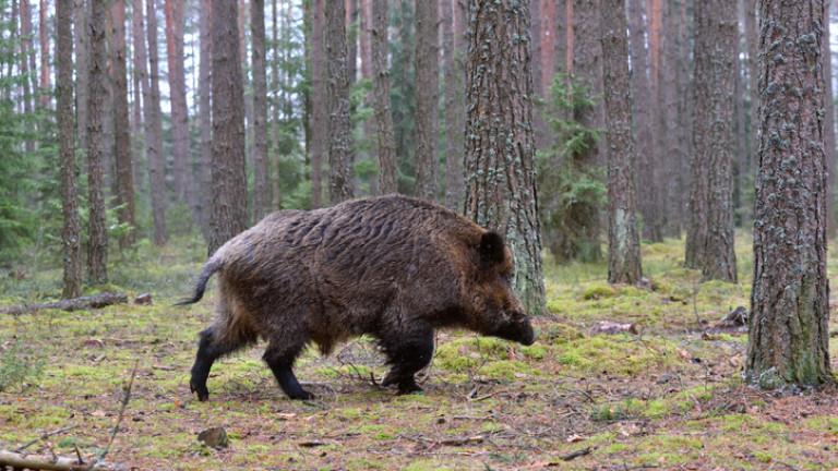 Ловците в общините Болярово и Стралджа се подготвят за излети за групов лов на дива свиня и хищници тази неделя. Груповият лов на дивеч на 3 ноември е...