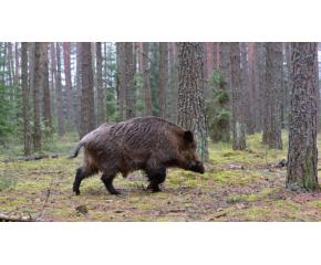 Ловът на диви прасета е разрешен 3 дни в седмицата, намалени са обхватът на забранените зони и срокът за отстрел в тях