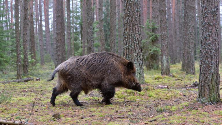 От 5 октомври стартира груповият лов на дива свиня. По време на новия сезон ловът ще бъде разрешен три дни седмично, вместо досегашните два дни. Целта...
