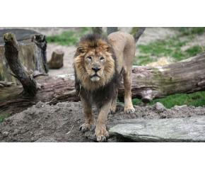 Лъвът от зоопарка в Пазарджик е починал