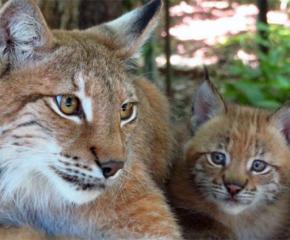 Малки рисчета от застрашен вид се родиха в зоопарка в София