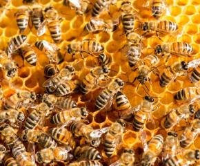 Масов мор на пчели в Северна България
