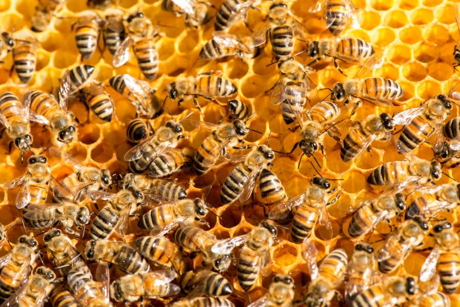 В Северна България са загинали над 20 000 пчелни семейства само през последните три дни. Това съобщи за БТА общинският съветник от Плевен Албена Симеонова...