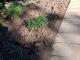 Масово се крадат новозасадени цветя в центъра на Сливен