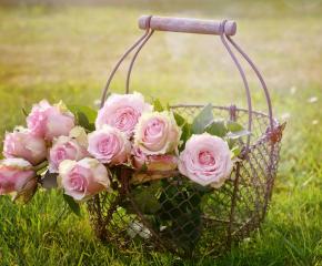 Над 40% от реколтата от розов цвят тази година ще остане несъбрана