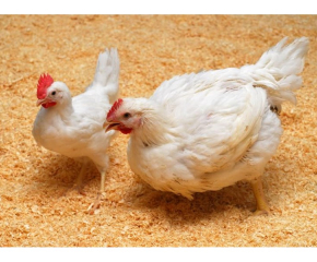 Нама регистриран случай на инфлуенца по птиците в Сливенско