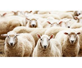 Националният събор на овцевъдите у нас ще се проведе от 6 до 9 май