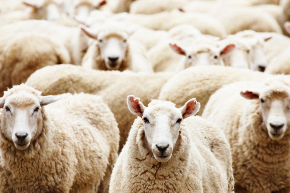 Националната овцевъдна и козевъдна асоциация със съдействието на Министерството на земеделието и общините Лясковец, Велико Търново и Горна Оряховица организират...