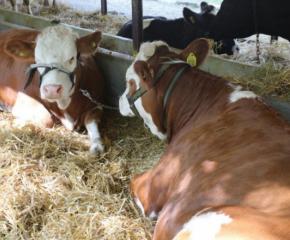 Националното животновъдно изложение край Сливен представя над 600 животни