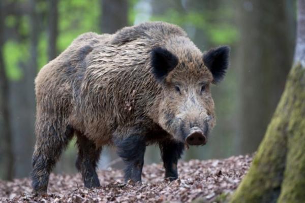 Резултатите от досегашните проби, взети от отстреляни при групов лов диви свине и от открити трупове в Ямболска област, не са показали наличието на вируса...