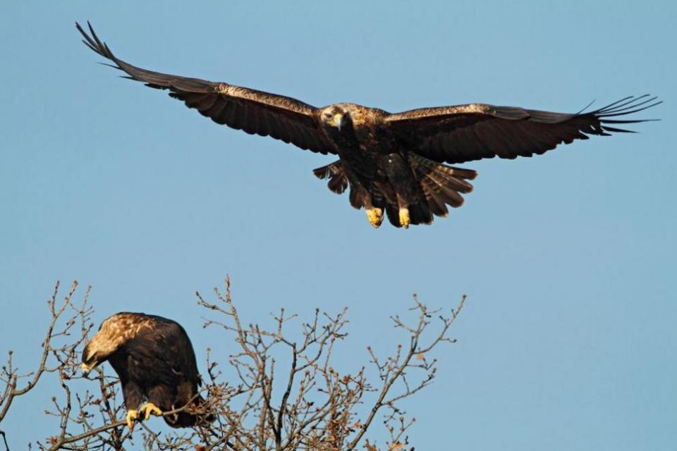 Рекорд за последните 20 години: Двойките царски орли у нас са вече 34. Това съобщиха от Българското дружество за защита на птиците. Според специалистите...