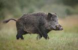 Нов случай на Африканска чума по свинете във Видинско