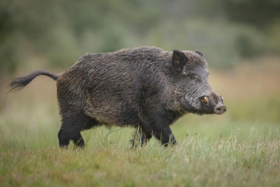 В село Коста Перчево, община Кула, е установенаположителна проба от заболяването Африканска чума по свинете от отстреляна диво прасе.Това е съобщено...