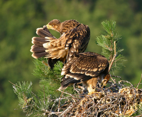 Нова двойка царски орли край Ямбол и нов рекорд за популацията на вида у нас