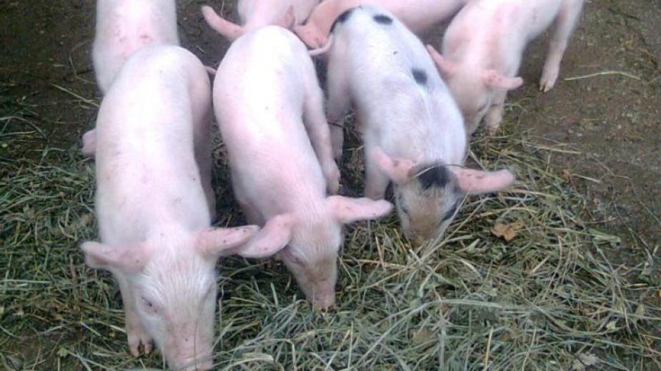 Максималният брой прасета, които могат да бъдат отглеждани в лични дворове, ще бъде намален от пет на три. Това предвиждат проектопромени в Наредбата за...