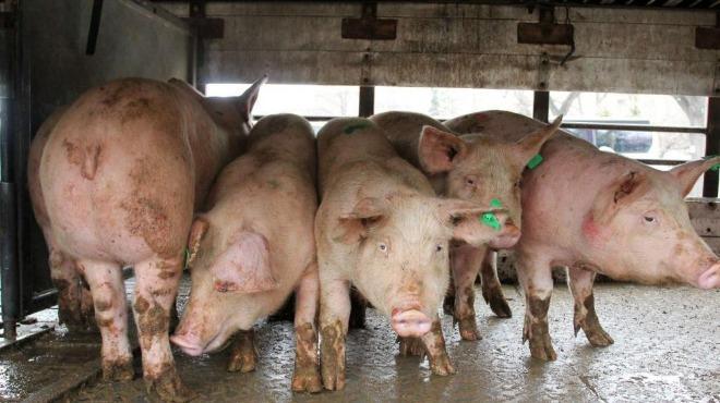 Нови мерки за биосигурност ще бъдат предприети в петте общини на Ямболска област след установените случаи на Африканска чума по свинете /АЧС/ при отстреляни...