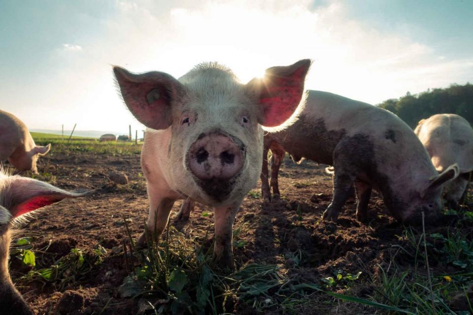 Ново огнище на болестта африканска чума при свинете е обявено в община Смядово. Огнището е първично, възникнало в стадо в обект за отглеждане на свине...