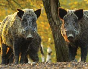 НС прие промени в Закона за лова и дивеча, свързани с мерките срещу АЧС