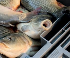 Няма нарушения при търговците на риба в ямболско
