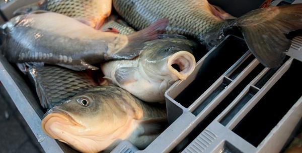 Няма регистрирани нарушения в обектите, предлагащи риба на пазара в Ямбол до момента. Това съобщиха за 999 от Областната дирекция по безопасност на храните....