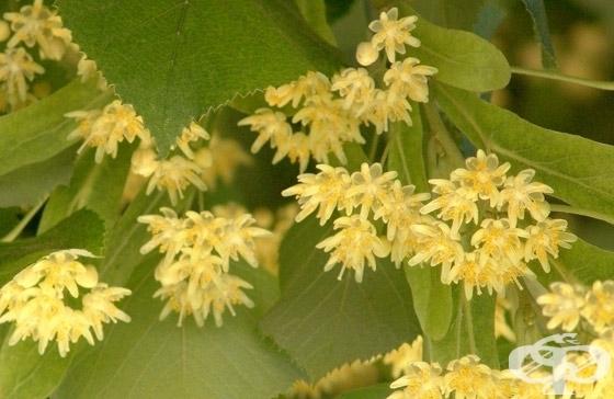 Във връзка с настъпването на цъфтежа на липовите дървета, Община Сливен уведомява гражданите, че липата е в списъка на лечебните растения по смисъла на...