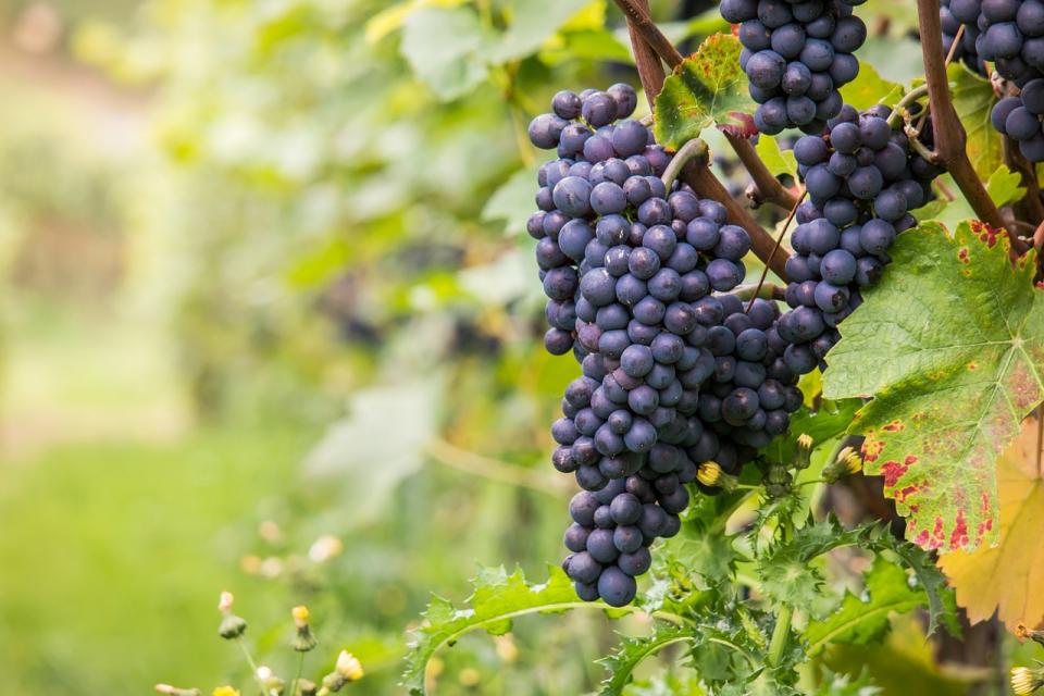 Лозари и винари от Югоизточния регион ще се съберат в Поморие, за да обсъждат проблемите в бранша от 11,00 часа. Лозарите искат субсидия от 30 стотинки...