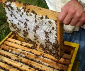 Очаква се днес пчеларите да запознаят министъра на земеделието с част от проблемите си