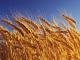 Около 60% от обработваемите земи у нас са засети със зърнено-житни култури