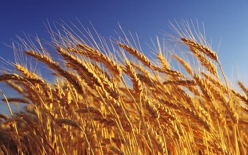 3,319 милиона хектара е обработваемата земя у нас, като близо 60 % от площите са заети със зърнено-житни култури. Това сочат предварителните данни от...