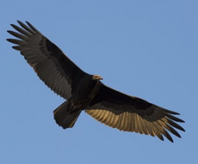 Осем черни лешояда са изпратени в Котел за подготовка за освобождаване в природата