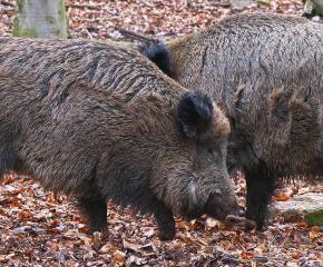 Още 10 диви свине с африканска чума са намерени в елховско
