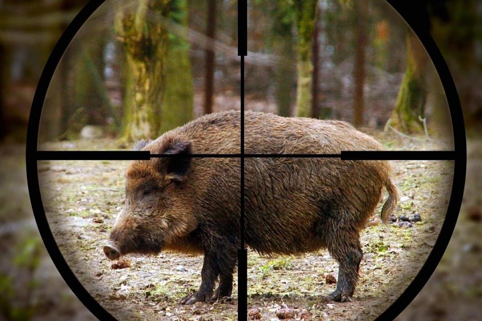 """Още случаи на диви прасета с потвърдени проби за наличие на африканска чума са открити в ямболска област, съобщи началникът на отдел """"Здравеопазване на..."""