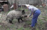 Откриха африканска чума по свинете и в Кюстендилско