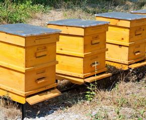 Откриха болест по пчелите, която ги убива масово