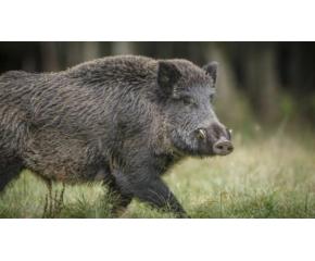 Откриха нов случай на африканска чума по свинете край Котел