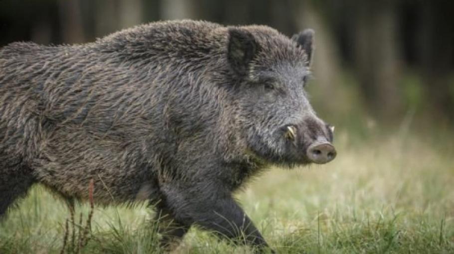 Случай на африканска чума по свинете е регистриран в района на Котел, съобщиха от ОДБХ на заседание на Областната епизоотична комисия. Заседанието се проведе...