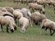 Откриват Националния събор на овцевъдите