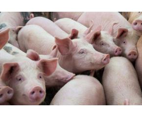 Отпада забраната за движение на живи свине и месо в 39 индустриални ферми и 66 кланици в страната