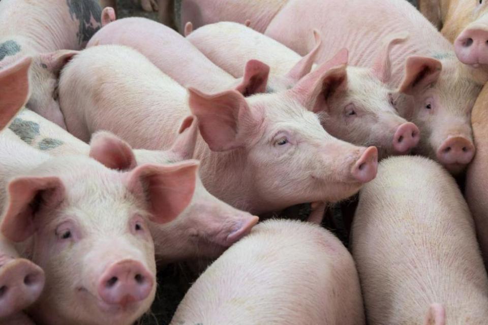 До момента 39 индустриални ферми и 66 кланици са освободени за движение на живи свине и месо. Във всички обекти е извършен официален контрол и надзор ,...