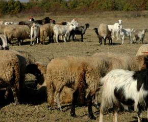Отрицателни са пробите за шап по животните в боляровско е елховско