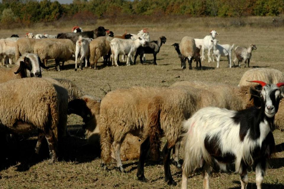 Няма шап по животните в общините Болярово и Елхово, но ветеринарите предупреждават фермерите да внимават, заради регистрирани случаи в Турция. По информация...