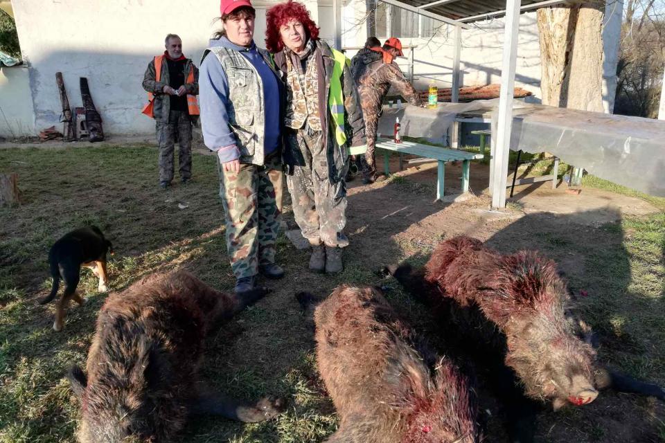 """16 диви прасета бяха отстреляни от ловните дружинки на ЛРС """"Странджа"""" само за почивните 25 и 26 януари, информира неговият председател Николай Вълчев...."""
