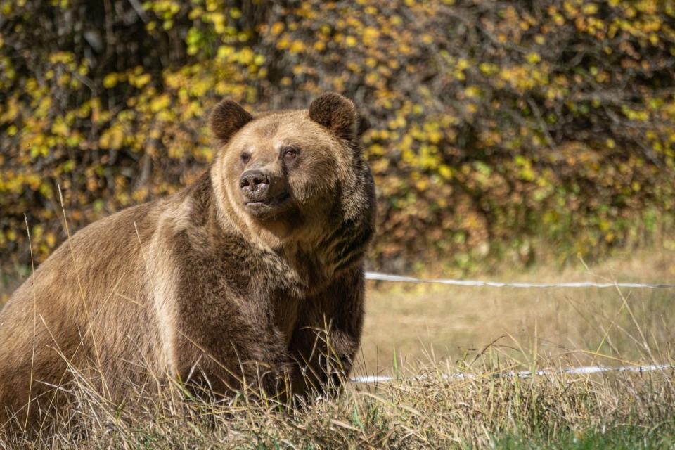 Паркът за танцуващи мечки край Белица спаси поредния екземпляр и той вече е пуснат свободно във външно заграждение на парка. Мечокът Теди, който след кратък...