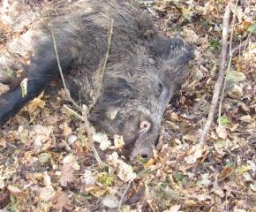 Плащат на ловците за отстреляна или намерена мъртва дива свиня