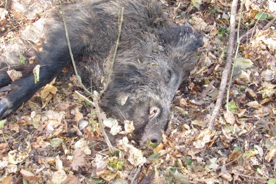 От 5 октомври стартира груповият лов на дива свиня. По време на новия сезон ловът ще бъде разрешен три дни седмично, вместо досегашните два дни. Това съобщиха...