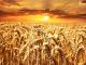 Почти на половина по-ниски добиви на пшеница от миналата година в Ямболско