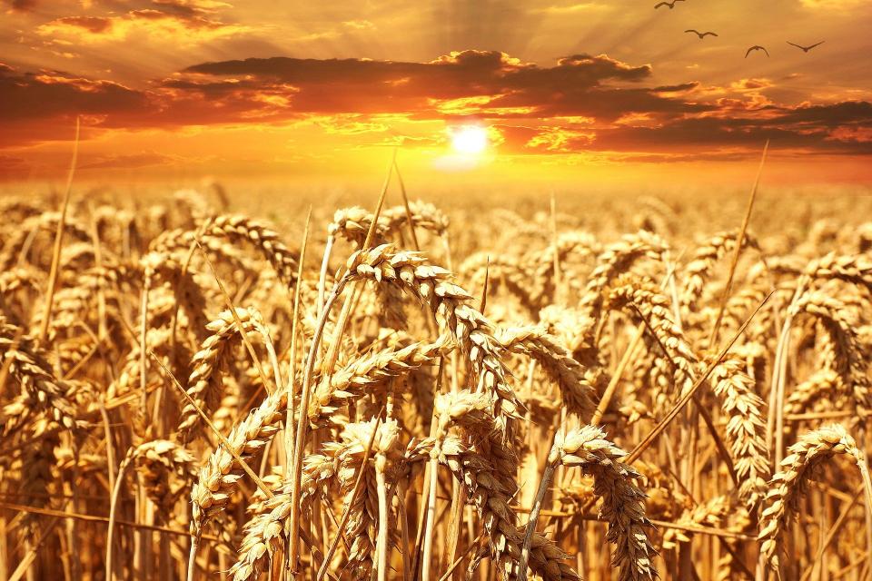 """С 42 на сто са по-ниски добивите от пшеницата в Ямболска област в сравнение с миналата стопанска година, съобщи директорът на Областна дирекция """"Земеделие""""..."""