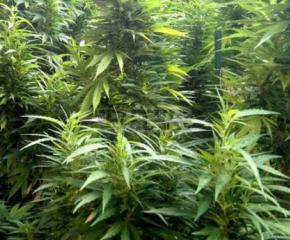 Полицията от Казанлък отново разкри наркооранжерия, този път в Крън
